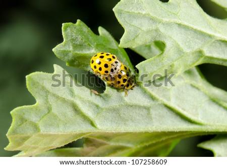 22-spot-ladybird pair - stock photo