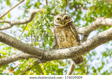 Spotted Owlet on tree top of the tree