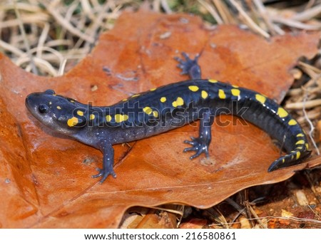 Spotted Salamander, Ambystoma maculatum - stock photo