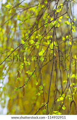 spring birch branches on blur background - stock photo