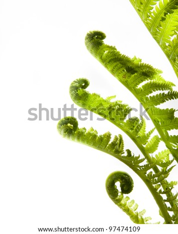 spring fern isolated on white background