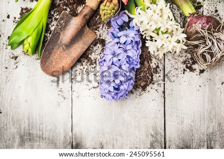 spring gardening background with hyacinth flowers, bulbs, Tubers, shovel and soil on white wooden garden table - stock photo