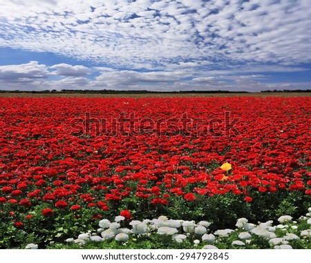 Spring in the fields of Israel. Huge field of red garden buttercups for export - stock photo