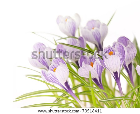 spring stripy crocuses in white background