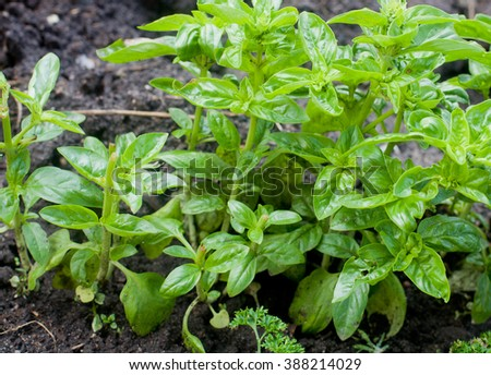 sprout pepper outdoor - stock photo