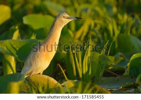 Squacco Heron on Waterlily Leaves in Danube Delta - stock photo
