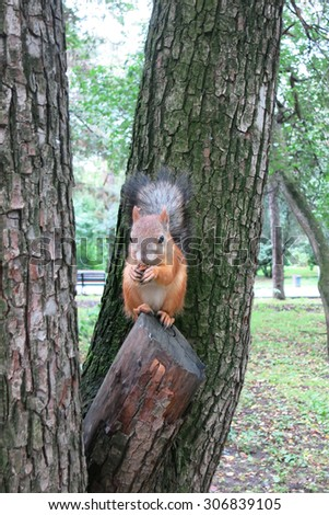 Squirrel gray-red color gnaws nuts in the tree   - stock photo