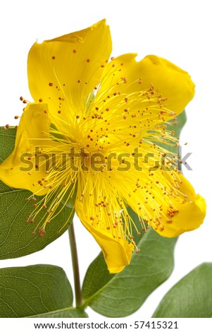 St John's wort flower close up on white background - stock photo