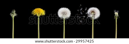 4 stage of a dandelion combined into one image isolated on black background - stock photo