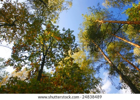 1 stand of aspen trees looking up - stock photo