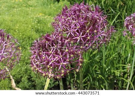 """Star of Persia"" (or Persian Onion) flowers in St. Gallen, Switzerland. Its Latin name is Allium Albopilosum (Syn Allium Cristophii), native to Turkey, Iran, and Turkmenistan. - stock photo"