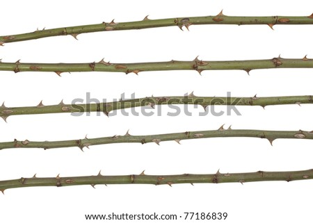 stem with  spikes  rose - stock photo