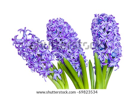 3 stems of blooming purple hyacinth in a row - stock photo