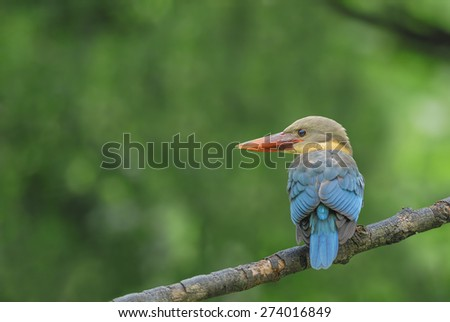 (Stork-billed Kingfisher) Beautiful bird perching on branch - stock photo
