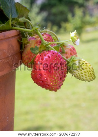 strawberry plant - stock photo