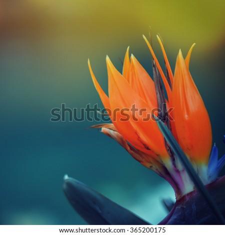 Strelitzia flower - stock photo