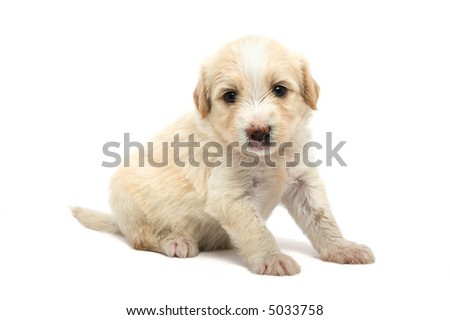 studio isolate image of a cute puppy  over white