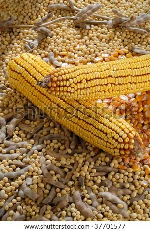 studio shot soybean pod and  Corn on Cob - stock photo