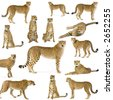 14 studio Shots of Cheetahs in different position, isolated on a white background. All my pictures are taken in a photo studio - stock photo