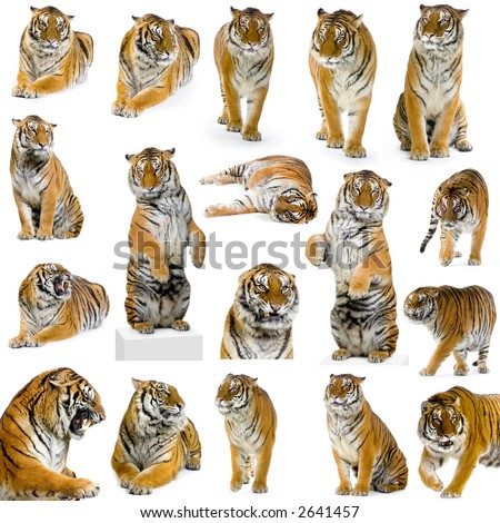 18 studio Shots of tiger in different position, isolated on a white background. All my pictures are taken in a photo studio - stock photo