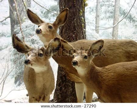 3 stuffed deers from the Steinhart aquarium in Golden Gate Park San Francisco California - stock photo
