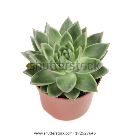 �  succulent plant in a pot isolated on white background  - stock photo