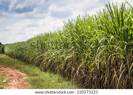 sugarcane farm and sky - stock photo