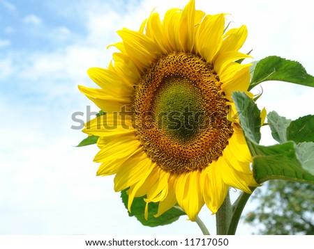 sunflower against a blue sky. - stock photo