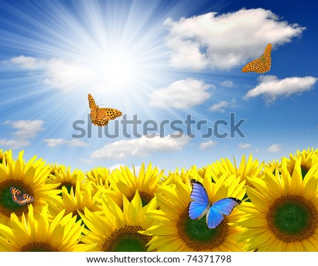 sunflower field with butterfly - stock photo