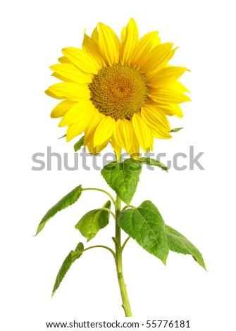 sunflower  on white - stock photo