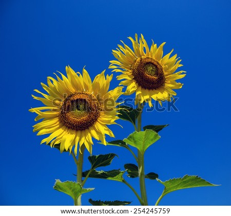 sunflowers in the field with bright blue sky. - stock photo