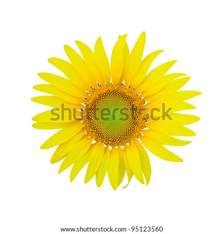 sunflowers on wight background - stock photo