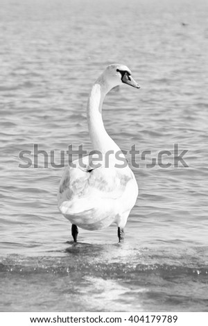 Swan in shallow waters (black and white) - stock photo