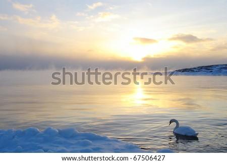 Swan In Winter - stock photo