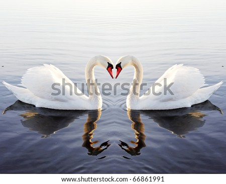 Swan`s heart. - stock photo
