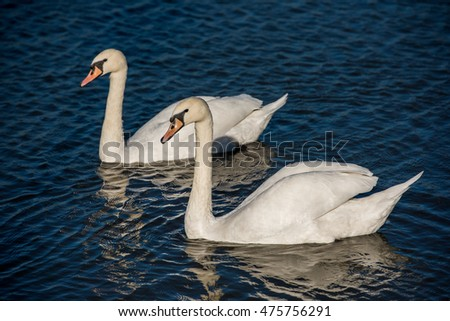 Swans at the city pond