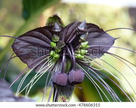 Tacca chantrieri, the black bat flower, is a species of flowering plant in the yam family Dioscoreaceae.