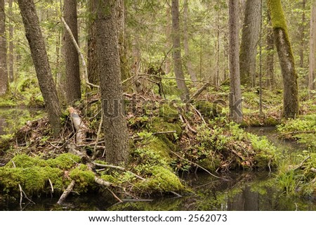"""Taiga"" like marshy natural forest,springtime,middle europe,poland,bialowieza forest"