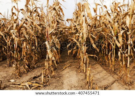 tall stalks mature dry corn in the agricultural field. Photographed close-up. - stock photo