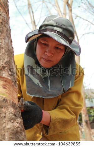 Tapping latex from a rubber tree. Phuket, Thailand