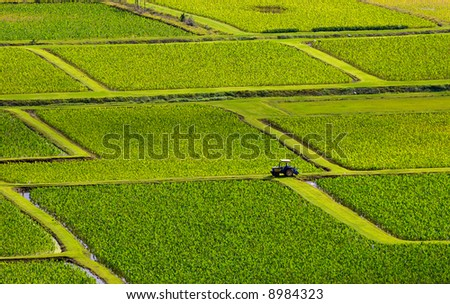 Taro fields near the historic Haraguchi Rice Mill on Kauai, Hawaii. The fields are illuminated by sunlight filtering through storm clouds. The fields are irrigated with water from the Hanalei River. - stock photo