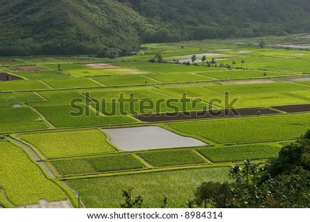 Taro fields near the historic Haraguchi Rice Mill on Kauai, Hawaii. The fields are on the banks of the Hanalei River, - stock photo