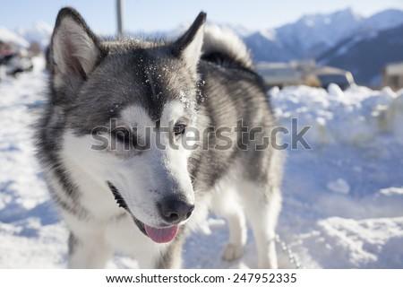 11th Alaskan Malamute Dog Sledding Day 23/01/2015 - 25/01/2015 - Alpe Giumello (Casargo) Italy - stock photo