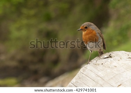 20th MAY 2016, HELFORD, CORNWALL, UK. A Robin perched on a peice of drift wood in Helford, Cornwall.