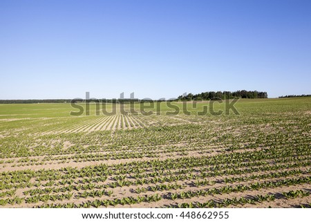 the agricultural field on which grow sprouts beetroot. Spring - stock photo