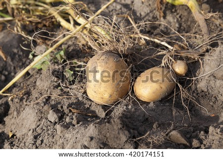 the agricultural field, which is collected potato harvest