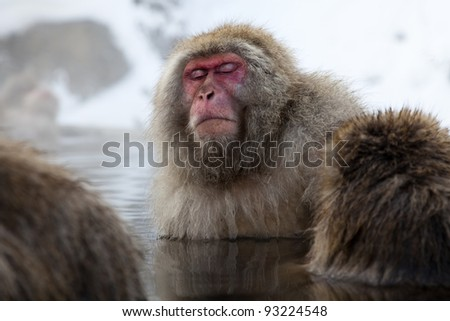 the alpha snow monkey or japanese macaque relaxing in the natural hot spring waters in nagano, japan. - stock photo