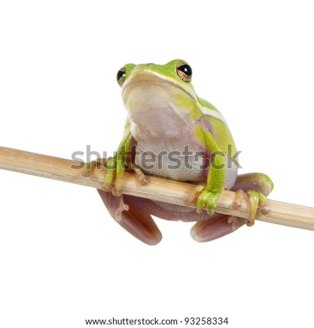 The American green tree frog (Hyla cinerea)    on a stick - stock photo