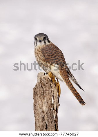The American Kestrel (Falco sparverius), sometimes colloquially known as the Sparrow Hawk, is a small falcon, and the only kestrel found in the Americas. - stock photo
