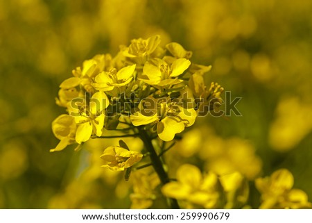 the blossoming colza photographed by a close up - stock photo